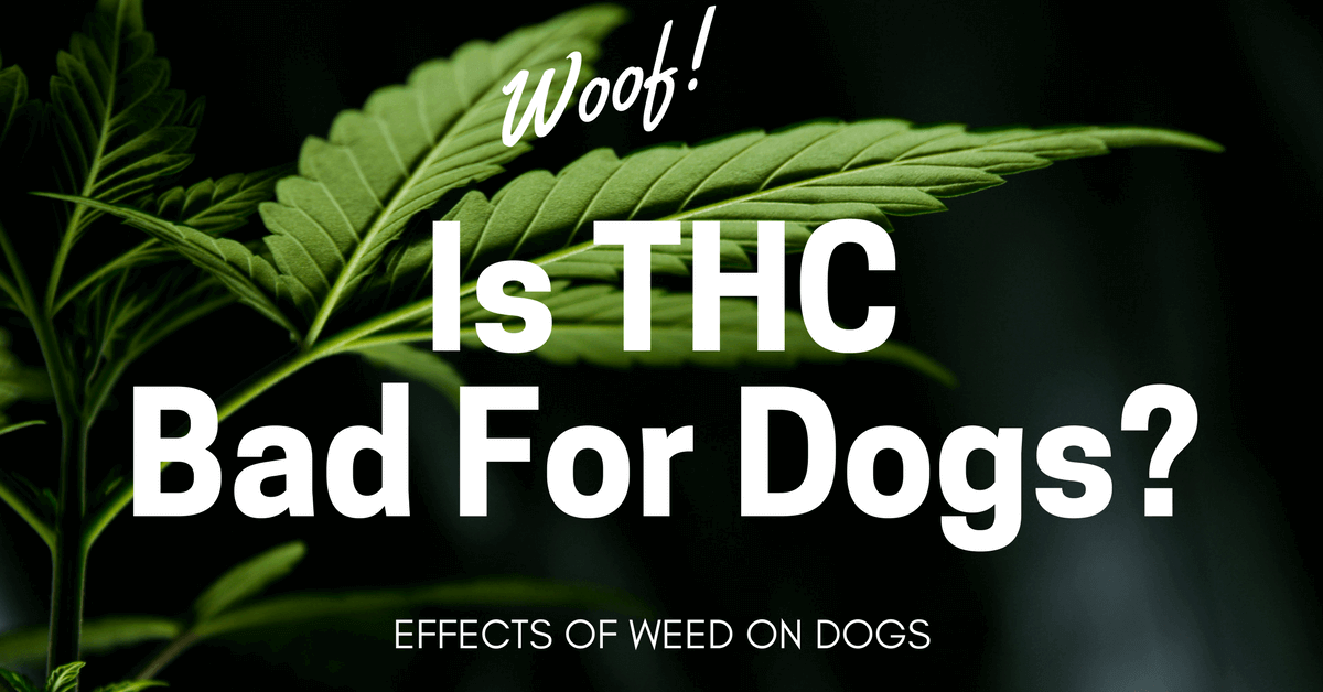 Is THC bad for dogs? Effects of weed on dogs