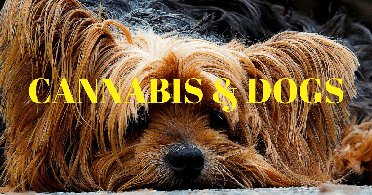 Cannabis for dogs. Cannabis oil for dogs. Hemp CBD oil. CBD cannabis. Hemp CBD oil. CBD oil for dogs with seizures.