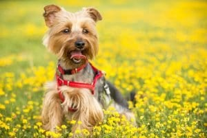How much CBD oil for dogs? CBD oil dosage for dogs. CBD oil for dogs benefits.