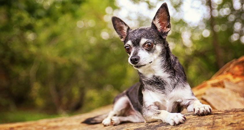 CBD for senior dogs