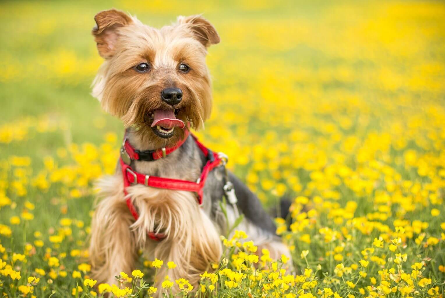 CBD oil dosage for dog allergies
