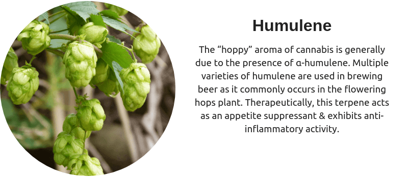 "The ""hoppy"" aroma of cannabis is generally due to the presence of α-humulene. Multiple varieties of humulene are used in brewing beer as it commonly occurs in the flowering hops plant. Therapeutically, this terpene acts as an appetite suppressant & exhibits anti-inflammatory activity."