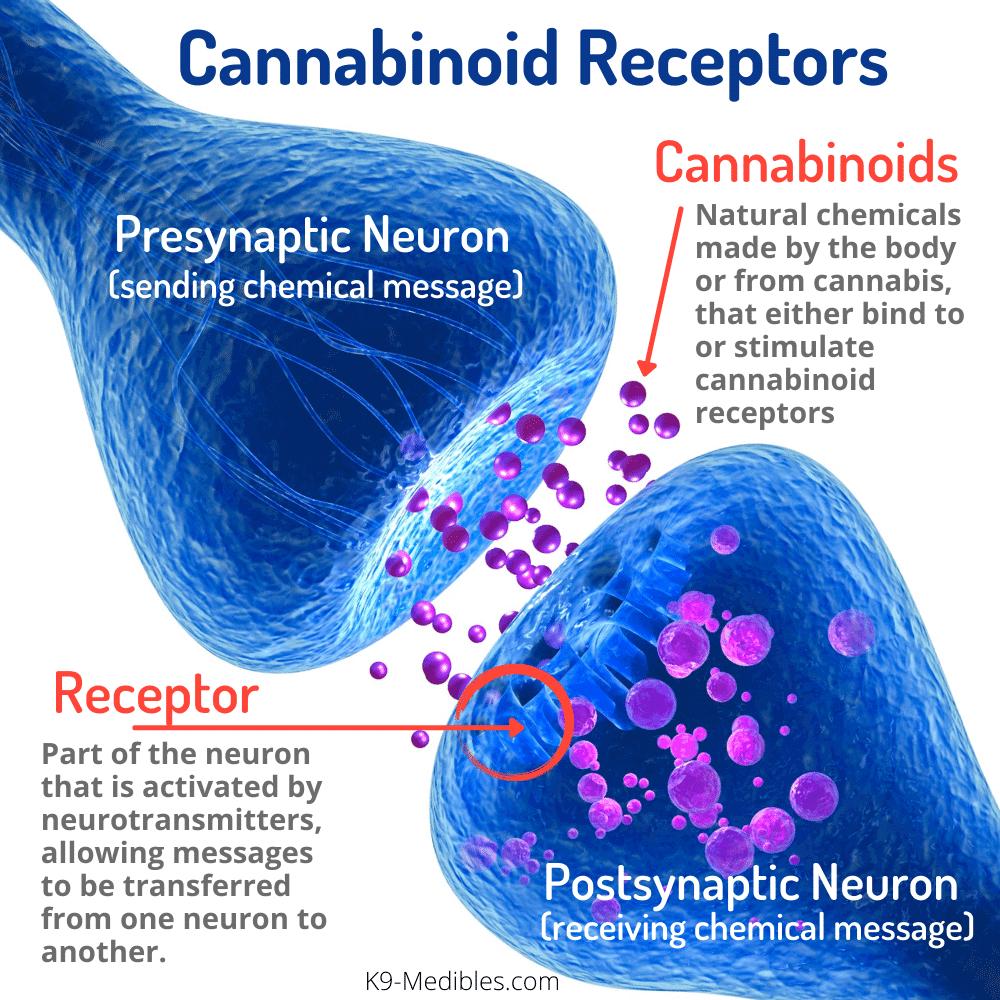 endocannabinoid recceptors