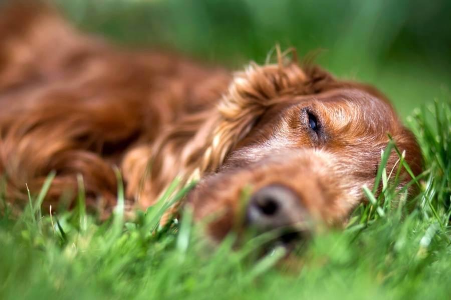 Do Dogs Have Cannabinoid Receptors?