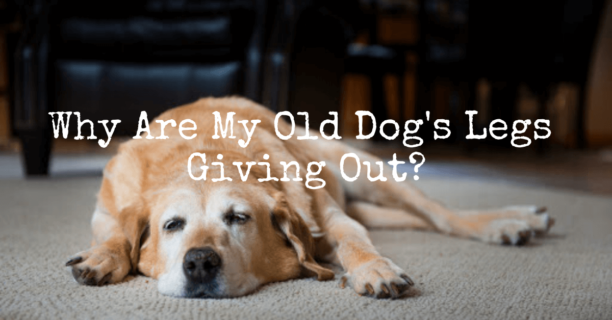 old dogs back legs collapsing